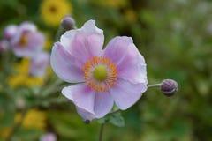 Japoński windflower który kwitnie późne lato Spadać obrazy stock