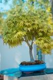 Japońskiego klonu bonsai drzewo w japończyku uprawia ogródek przy Frederik Meijer ogródami obraz stock