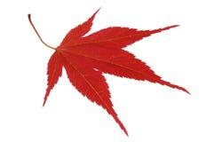 japońskiego klonu czerwień Obraz Royalty Free