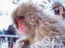 Japońskiej śnieg małpy śnieżna zima osamotniony czuciowy Nakano, Japonia obrazy stock