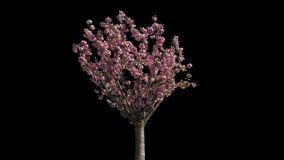 Japońskiej wiśni Odosobniony drzewo zbiory
