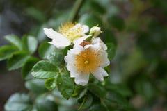 japończycy rose Obraz Royalty Free