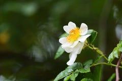 japończycy rose Fotografia Stock