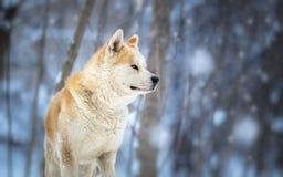 Japończyk psi Akita Inu Zdjęcia Stock