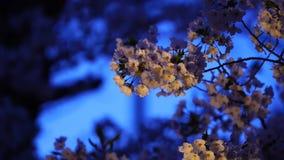 Japończyk Sakura Podczas zmierzchu zbiory