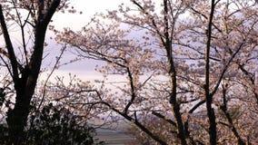 Japończyk Sakura Podczas zmierzchu zbiory wideo