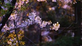 Japończyk Sakura przy zmierzchem zdjęcie wideo