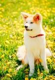 Japończyka Akita Inu szczeniaka obsiadanie W Zielonej trawie Plenerowej Zdjęcia Royalty Free