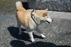 Japo?czyka Shiba Inu pies obraz royalty free