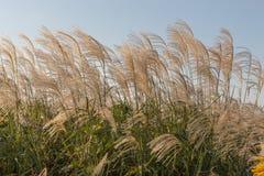 Japońscy silvergrass, miscanthus sinensis Zdjęcia Stock
