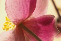 Japoński anemonowy kwiat Zdjęcie Royalty Free