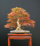 japoński bonsai klon Obraz Royalty Free