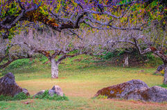 Japoński brzoskwini drzewo fotografia stock