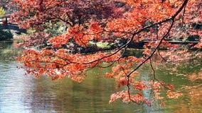 japoński drzewo klonowy Zdjęcie Royalty Free