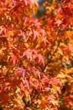 japoński drzewo klonowy Obrazy Royalty Free