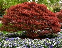 japo?ski drzewo klonowy fotografia royalty free