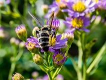 Japoński Honeybee karmienie od wildflowers 11 fotografia stock