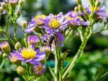 Japoński Honeybee karmienie od wildflowers 13 fotografia royalty free