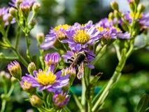 Japoński Honeybee karmienie od wildflowers 15 fotografia royalty free