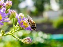 Japoński Honeybee karmienie od wildflowers 14 zdjęcia royalty free