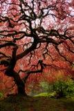 japoński klon Zdjęcia Royalty Free