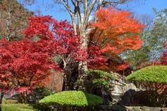 Japoński klon Zdjęcie Royalty Free