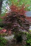Japoński Klonowego drzewa ` s Zdjęcia Stock