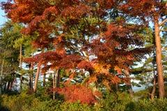 Japoński Klonowy drzewo w spadku obrazy royalty free