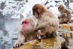 japoński makak Obraz Royalty Free