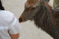 Japoński rogacz Przy Nara parkiem Japonia Obrazy Stock