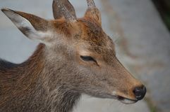 Japoński rogacz Przy Nara parkiem Japonia Zdjęcie Royalty Free