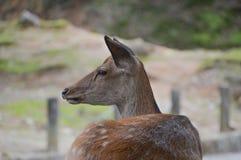 Japoński rogacz Przy Nara parkiem Japonia Obrazy Royalty Free