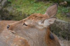 Japoński rogacz Przy Nara parkiem Japonia Zdjęcia Royalty Free
