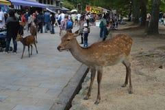 Japoński rogacz Przy Nara parkiem Japonia Fotografia Stock