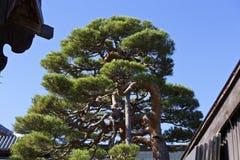 Japoński sosnowy wzorowanie Obraz Royalty Free
