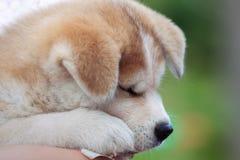 Japończyka Akita Inu szczeniak, psi sen Zdjęcia Stock