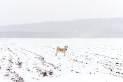 Japonés Akita en nevadas en las montañas Foto de archivo
