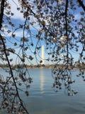 Japonés Cherry Blossom en Washington DC Foto de archivo
