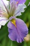 Japonés Iris Mauve Imagenes de archivo