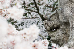Japonés Lion Dog con Cherry Blossoms Foto de archivo
