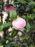 Japonés rosado Camellia Single Bloom Imagen de archivo libre de regalías