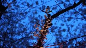 Japonés Sakura en la noche almacen de video
