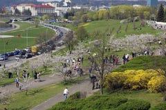 Japonés Sakura que florece en Pascua Imagen de archivo libre de regalías