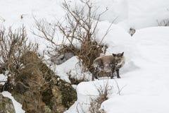Japonés salvaje Serow en invierno fotos de archivo