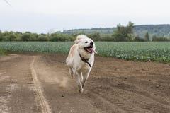 Japonês bonito Akita Inu que dos esportes o cão corre muito rapidamente através do campo com sua língua que pendura para fora imagens de stock