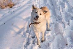 Japonês esperto Akita Inu do cão na neve no por do sol no campo Imagens de Stock Royalty Free