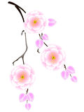 Japonês sakura, flor de cerejeira Imagem de Stock Royalty Free