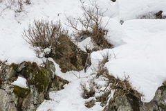 Japonês selvagem Serow que escala Snowbank fotografia de stock royalty free