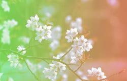 Japonais célèbre Sakura Cherry Blossom de fleurs de fond photos libres de droits