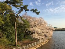 Japonais Cherry Blossom dans le Washington DC Images stock